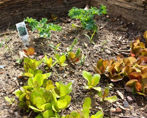 Kale and two types of heirloom lettuce