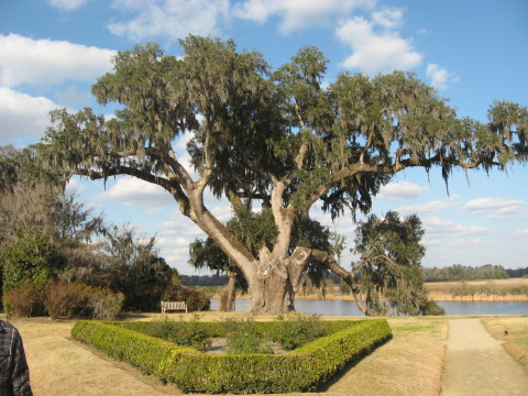 A massive Charleston oak tree.