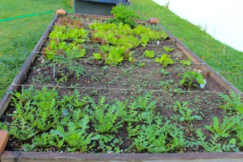 A raised bed with Arugula and other greens